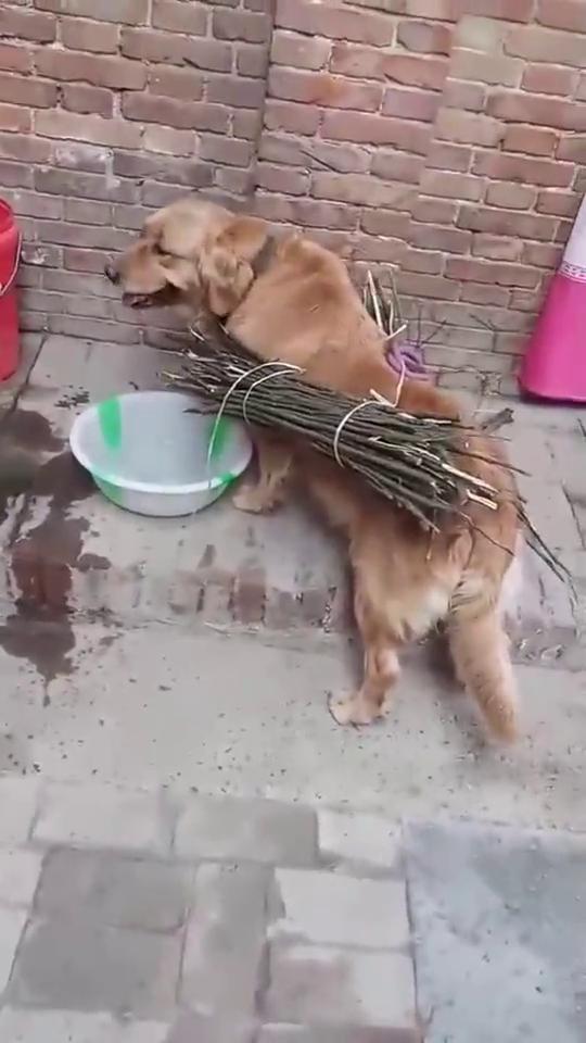 养狗千日用狗一时,免费的劳力,不用白不用!