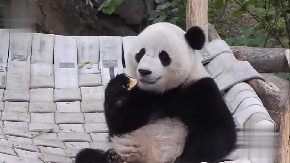 熊猫宝宝小口小口吃苹果,舔蜂蜜,乖乖的,萌萌的,好斯文的亚子