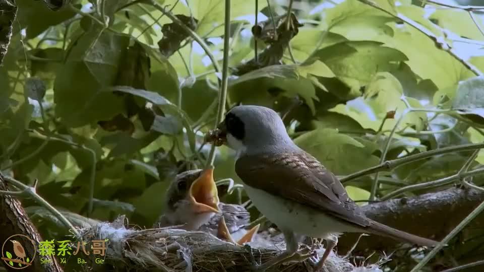灌木丛里的一窝伯劳鸟,经过鸟妈妈的精心喂养,鸟儿都出窝了