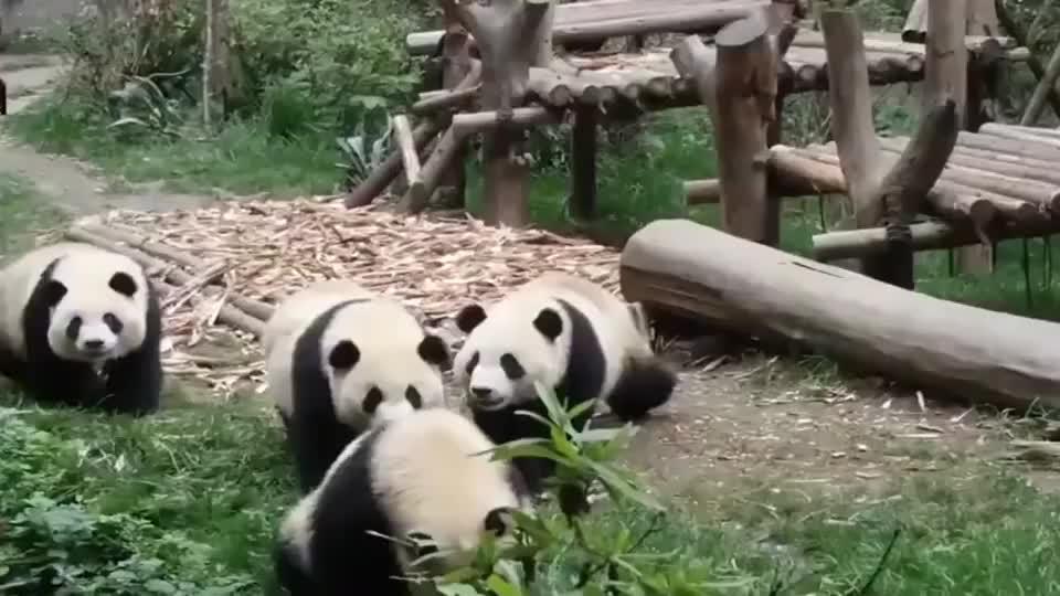 熊猫:有窝窝头? 拼手速的时候到了!