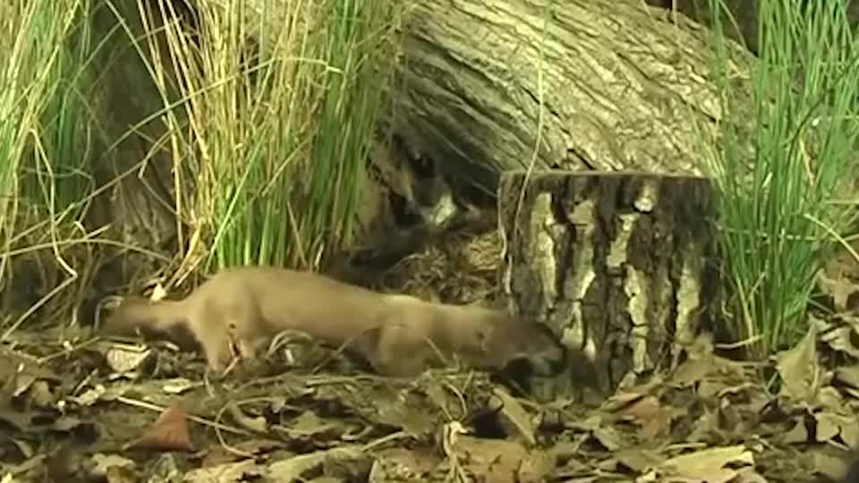 一只黄鼠狼发现老鼠洞,钻进去一锅端,老鼠全程在惨叫