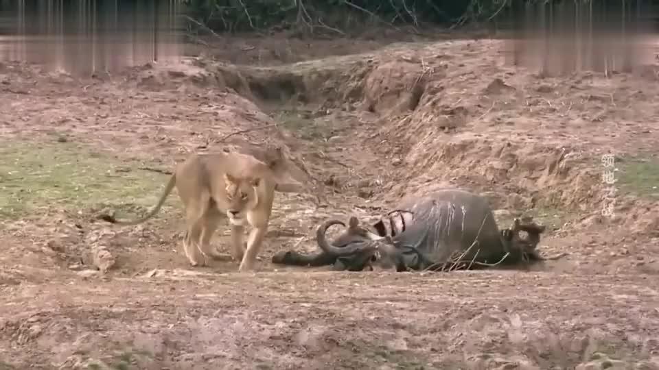 母狮闯入其它狮子的领地,两头雄狮马上发起攻击