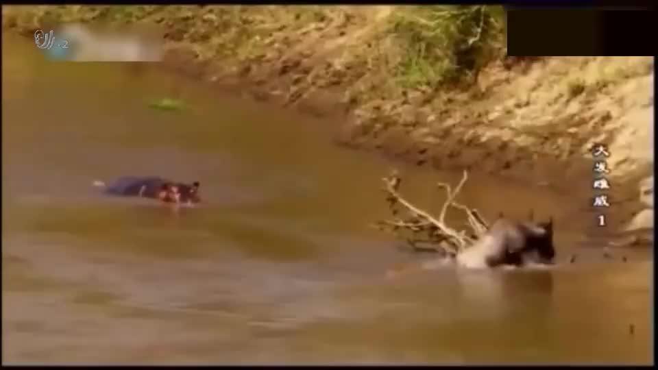 鳄鱼捕猎结果惊扰到了河马,这下有好戏看了,鳄鱼:大哥,我错了