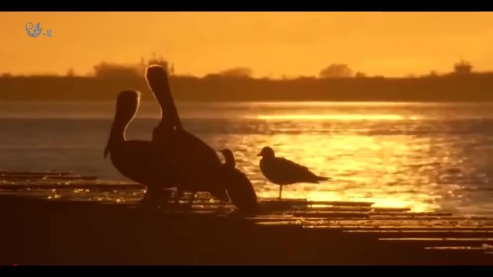 鳄鱼突袭鸟群结果引起鸟群的恐慌,顿时湖面此起彼伏,尤为壮观