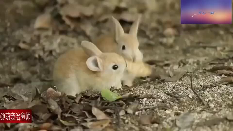 发现树林里的两只小兔子,在津津有味吃着枯叶,真好养活的样子!