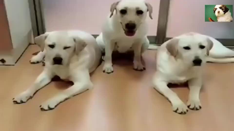拉布拉多:连狗狗都知道女儿是小情人了