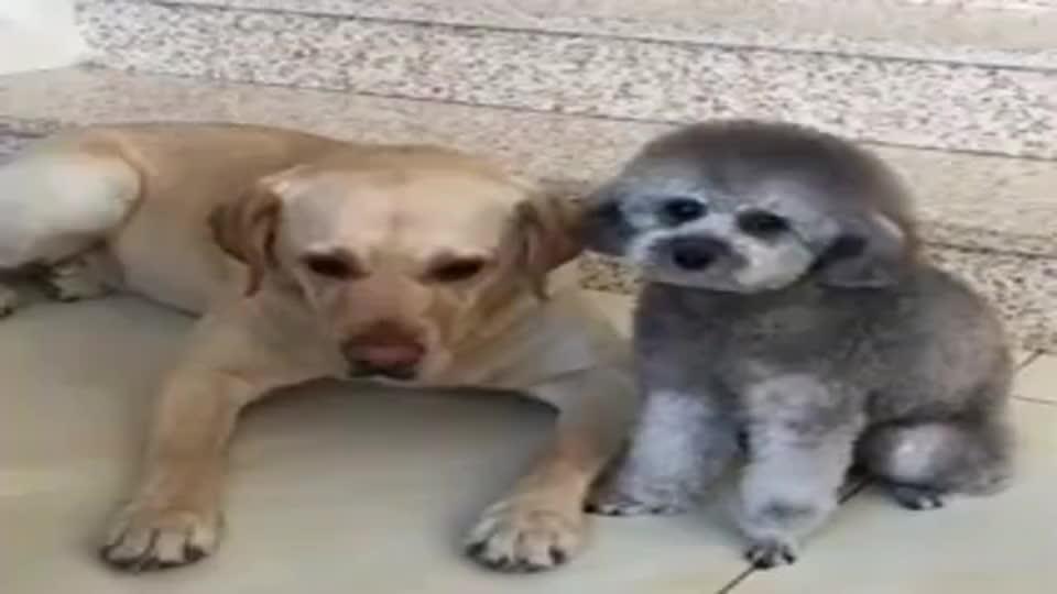 拉布拉多:女主人教训拉布拉多,结果狗狗不服气做出这动作