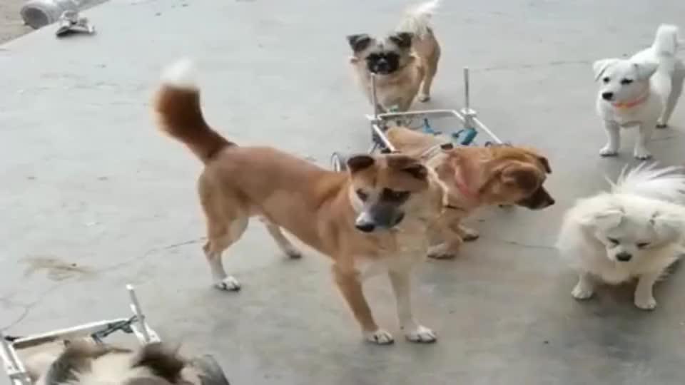 小哥哥把农村的老房子拿来当救助站,还收养了不少流浪狗