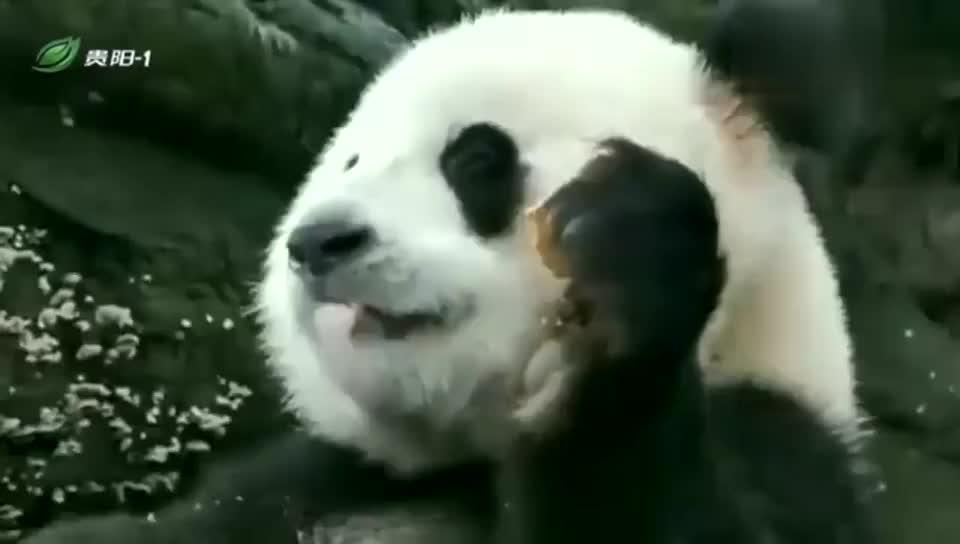 大熊猫:金虎把窝窝头吃得真香,连掉在身上的渣渣,也要捡起来吃