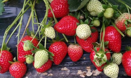 露天草莓如何高产优质?关键看定植时间,过早过晚会减产