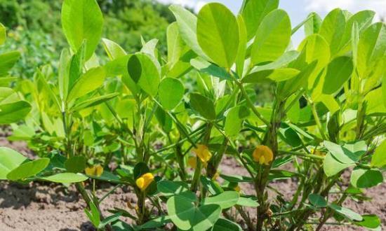 花生中后期叶面肥用得巧,促长、增产、提质、优收的效果好