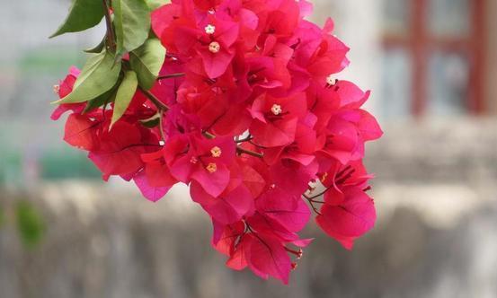 3种夏天开花的霸主,花色多样开花真美!跟着养护专家学起来吧