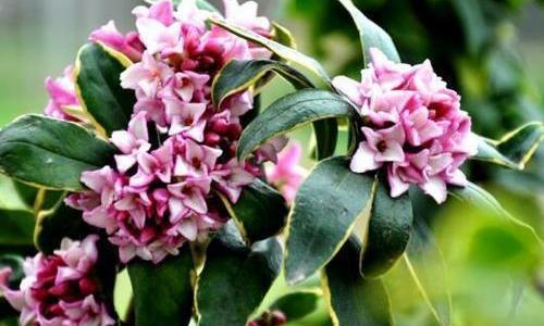 秋天养金边瑞香,掌握几个要点,枝头长满花蕾,花开香味迷人