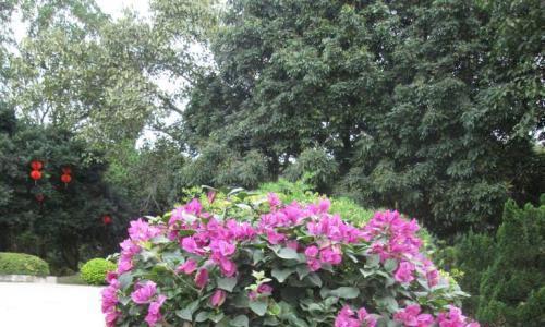"""秋天扦插""""三角梅"""",1根枝条长出一盆花,成活率高,直接爆满盆"""