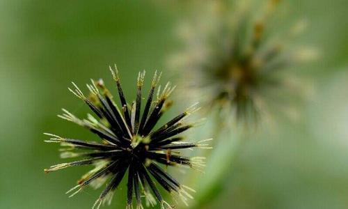 """长在脚边的中草药植物,一根""""鬼针草"""",降压清热解毒效果好"""