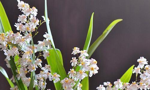 11月适合养文心兰,花香味迷人,花朵漂亮,开花时间长