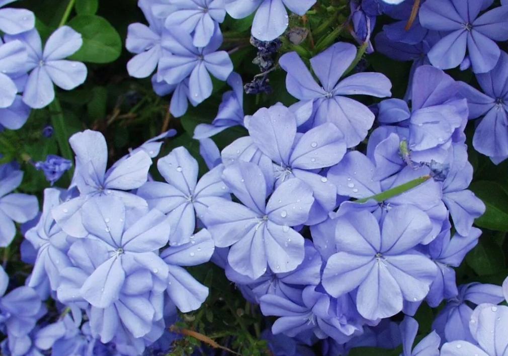 喜欢养花,不如养盆蓝雪花,花期超长,蓝色花朵爆墙似瀑布