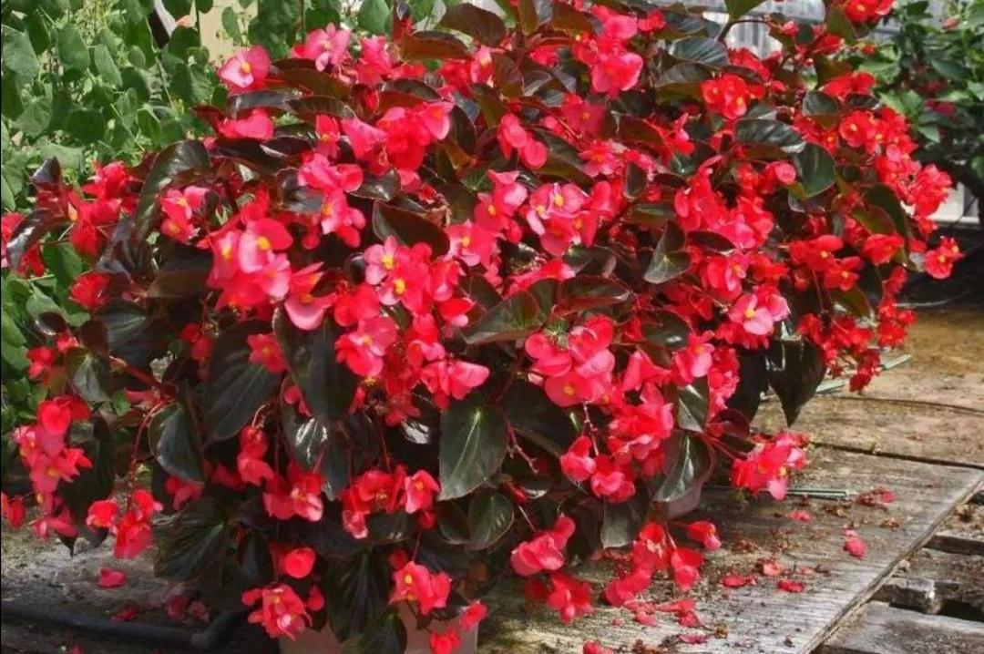 养四季秋海棠,夏天做好4点,植株不休眠,照常开花