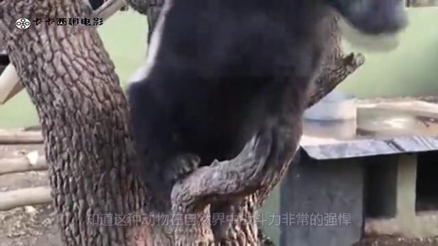 平头哥袭击巨蟒却被反杀,生死关头豺狼赶到,镜头拍下惊险全程