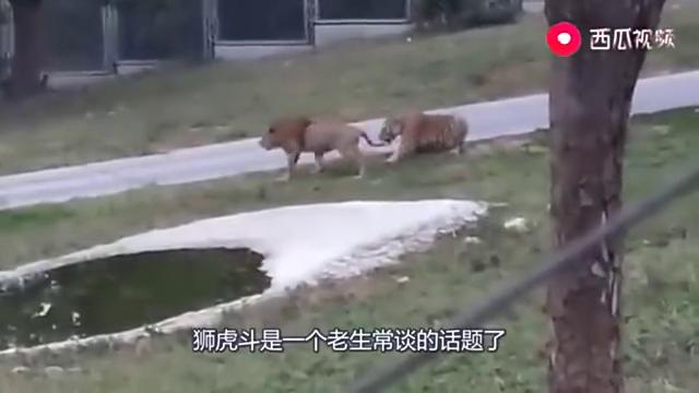 当老虎遇上狮子,单打独斗的话,谁更胜一筹?