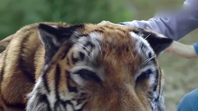 男子发现刚刚凶狠的老虎,此时就像宠物被姑娘摸着,当场懵了
