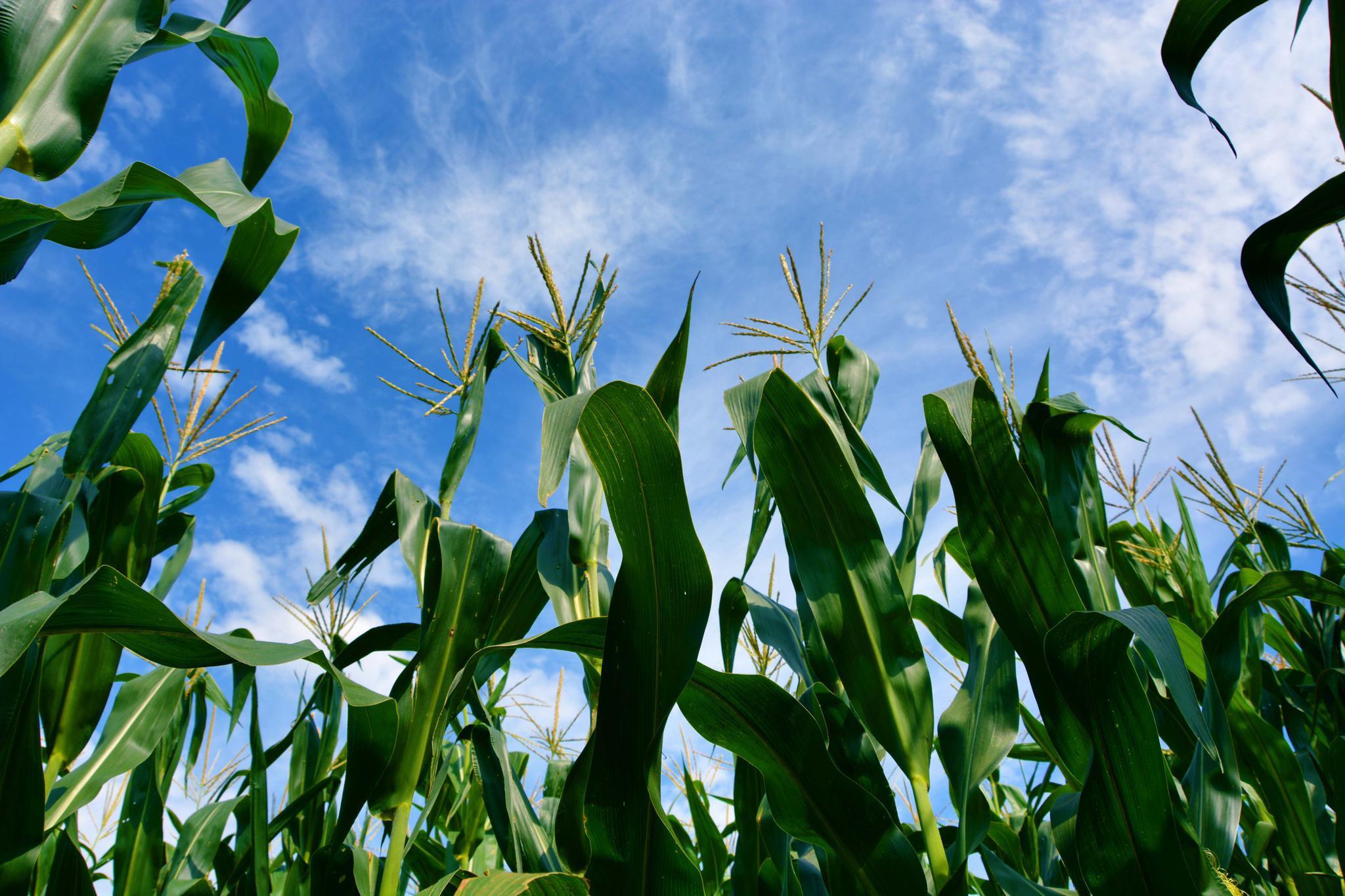 初秋的玉米地,原创拍摄