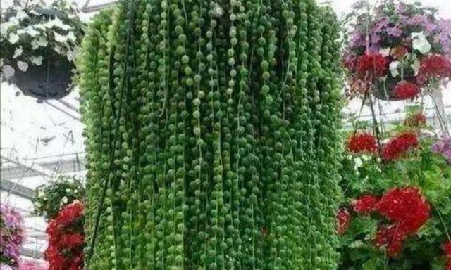 养珍珠吊兰,掌握好5项要点,珍珠长满花盆漂亮又美观