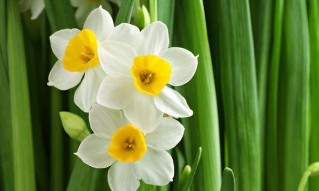 水仙花徒长有什么危害?掌握3个方法,叶子矬胖,花开娉婷