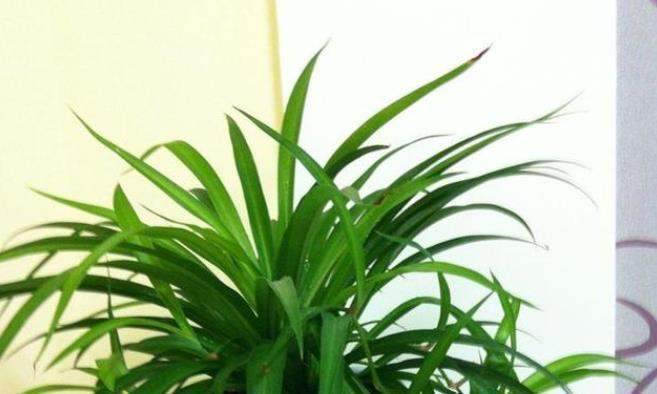 夏季养吊兰,叶子耷拉嫩黄?采用两个小妙招,叶片硬朗葱绿