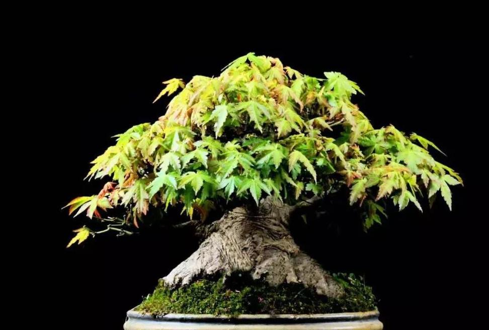 九款落叶树特别适合制作杂木类盆景,享受森林的乐趣!