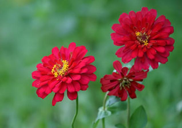 此花色彩极其艳丽,可长期保持鲜艳的色彩,象征友谊天长地久