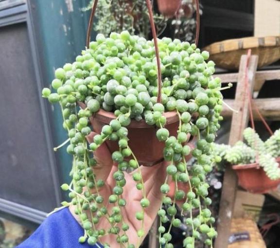 """7种多肉植物,夏天能养成""""瀑布"""",下垂的枝条很美,值得养!"""