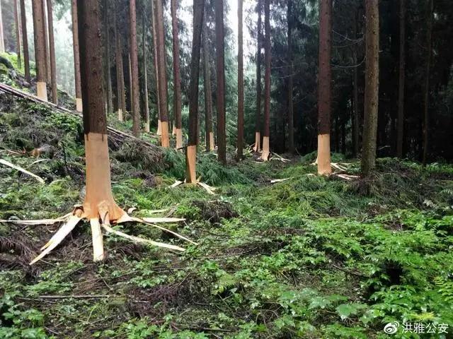洪雅警方成功破获一起滥伐林木重大案件