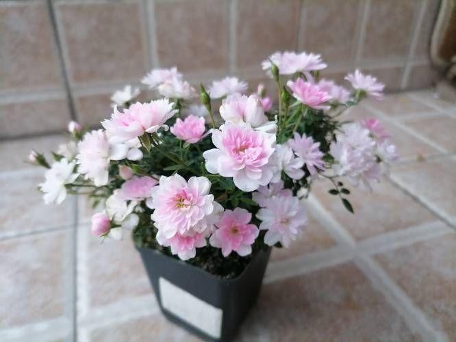姬乙女,最小的盆栽月季花,巴掌大小,全年都开花,室内也能养好