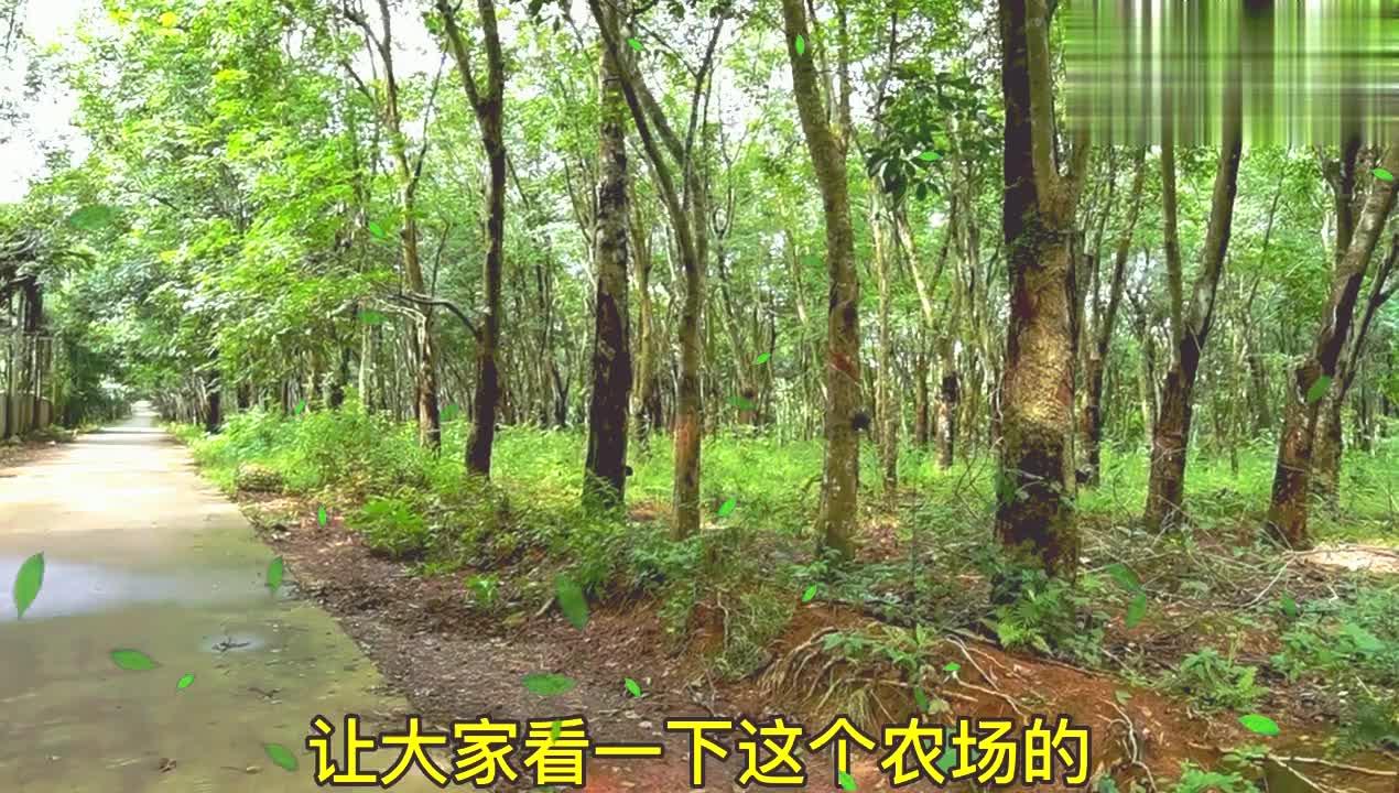去海南帮候鸟找便宜出租房,发现这的橡胶林很美,像一幅画,看下