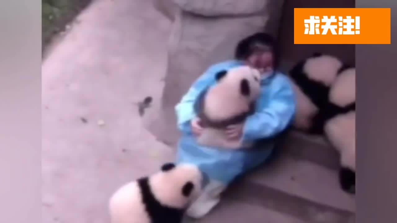 堂堂国宝大熊猫为了争宠和要吃的,在你们这些饲养员面前毫无尊严