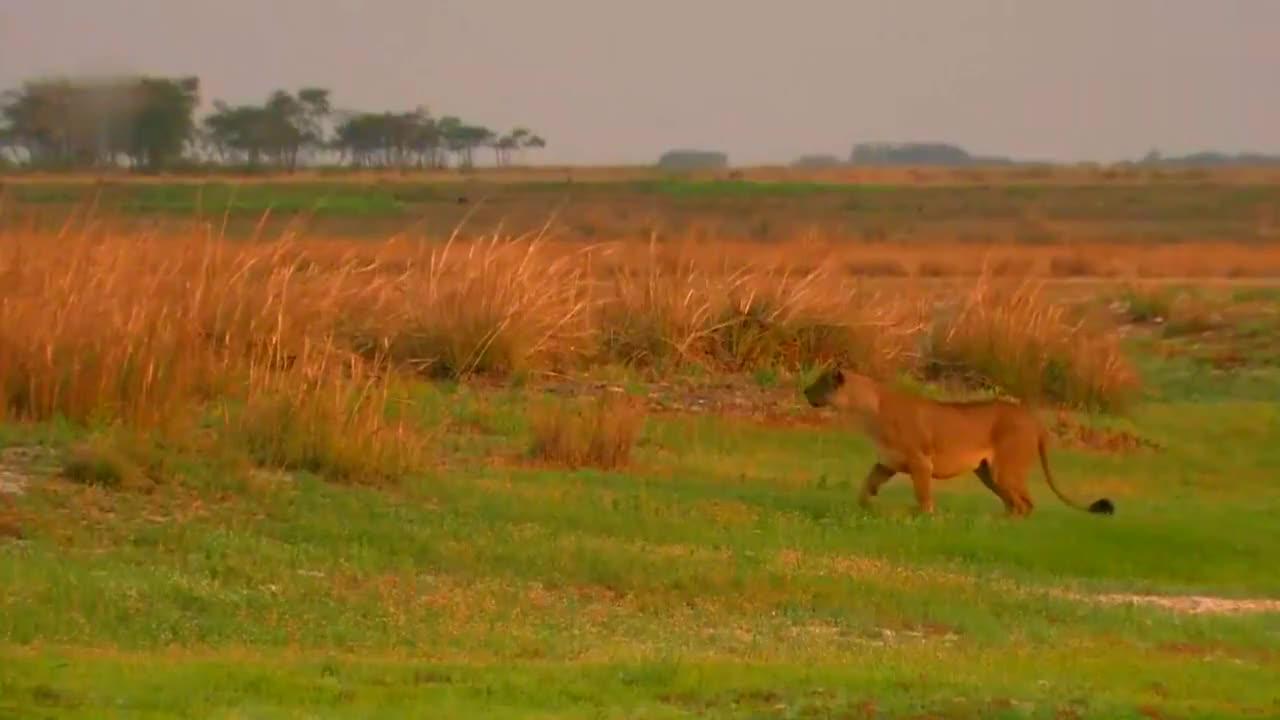 危险已迫在眉睫,牛羚还在低头吃草,浑然不知。还不快跑!