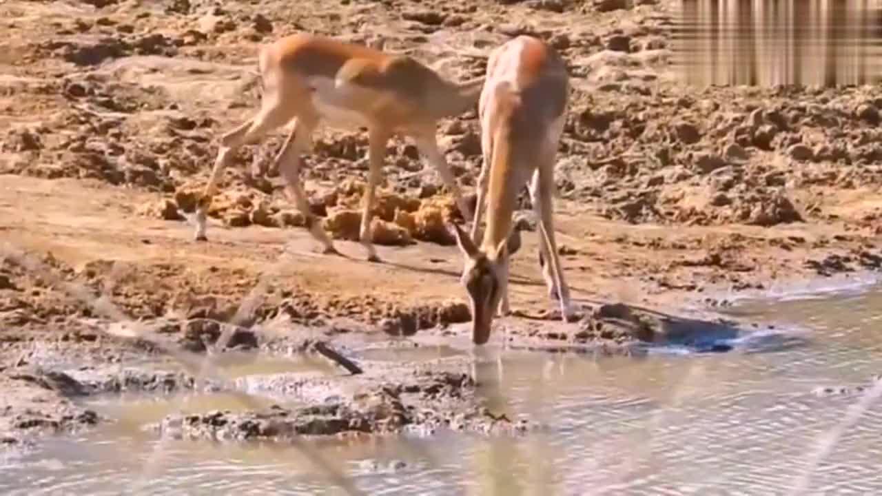 野狗刚捕到落水羚羊,突然被一只庞然大物叼走,瞬间全体懵了!