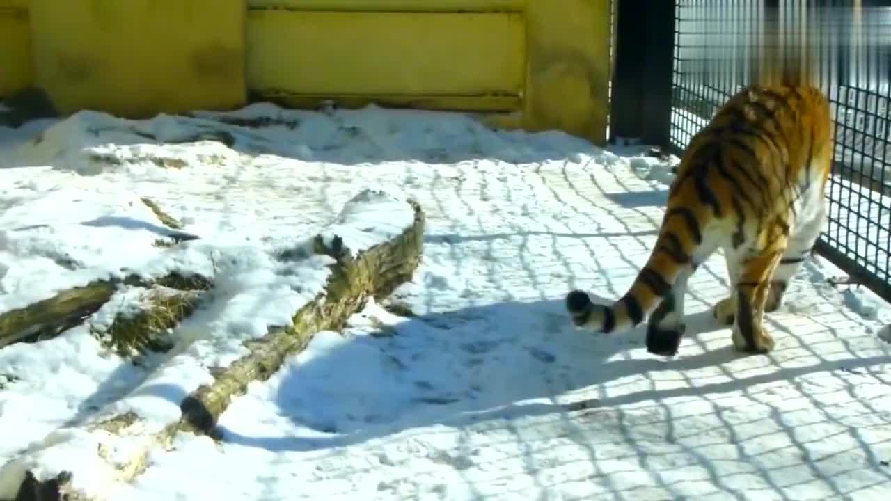 老虎的后腿断了,看上去好可怜,在野外还能活吗?