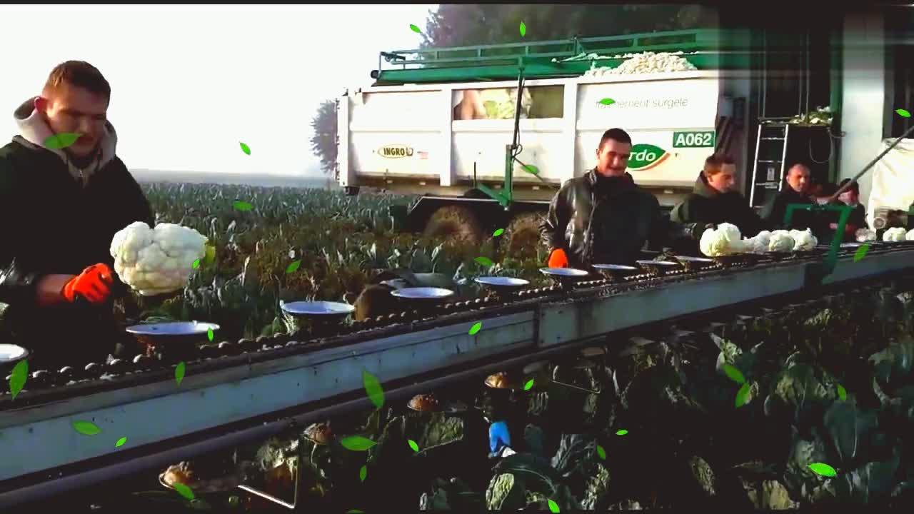 机械工作探究花菜采摘,田地中现场加工机器