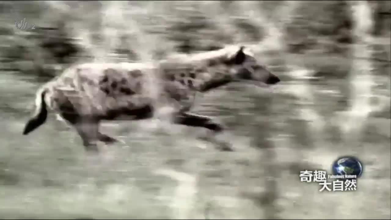 鬣狗群是非洲草原上唯一能和狮群较量的动物,丝毫不弱于狮子
