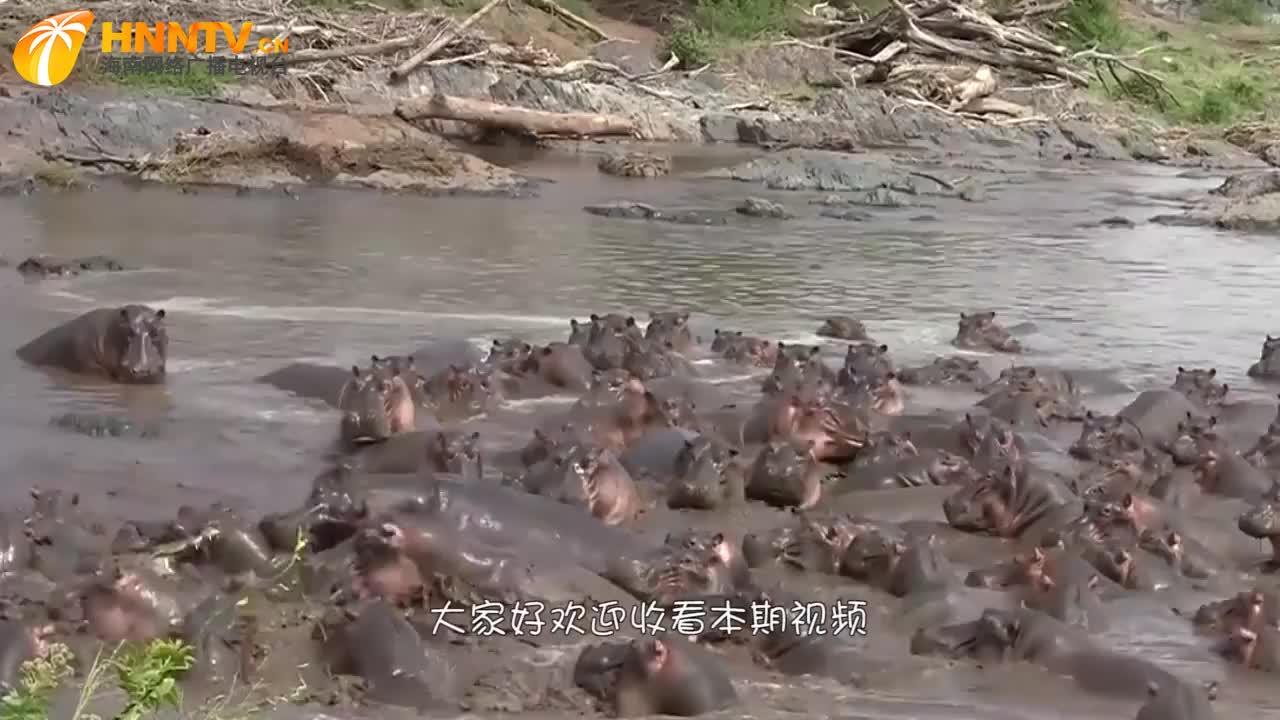河马宝宝被鳄鱼咬死,被大河马发现后领着河马群对鳄鱼报复!