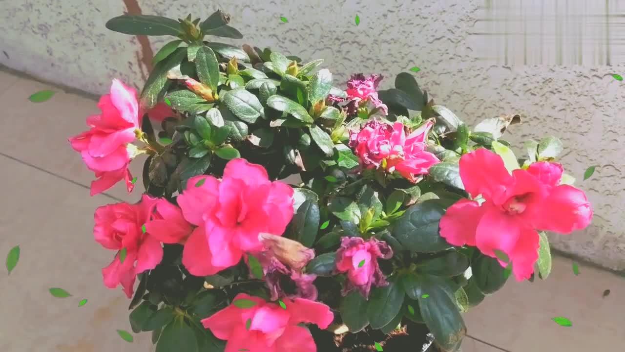 中午,来阳台上看看花草,杜鹃花依然绽放