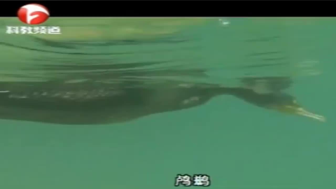 鸬鹚的脚长得像鸭子,所以可以在水下欢快的游泳