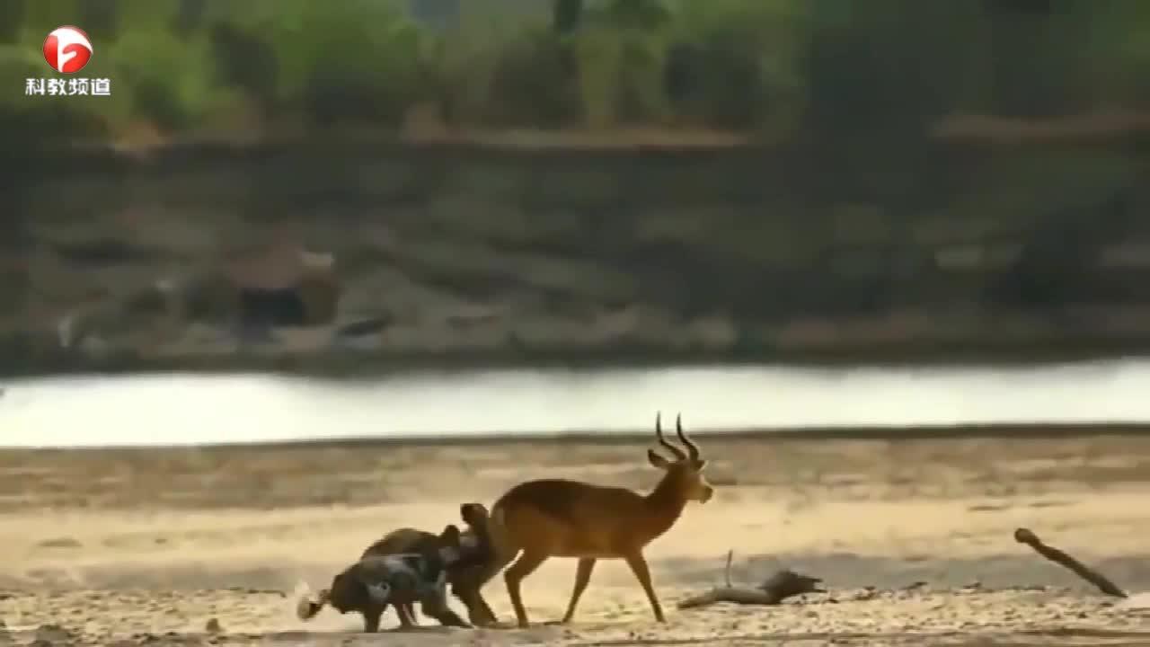 黑斑羚被两只鬣狗袭击,很痛苦却无力反抗