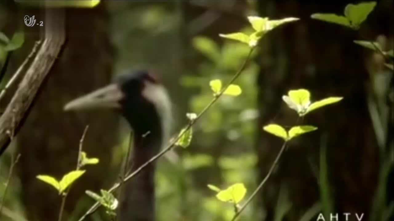 鹤夫妇会轮流照顾幼崽,以防止捕食者偷猎,网友真是太辛苦了!