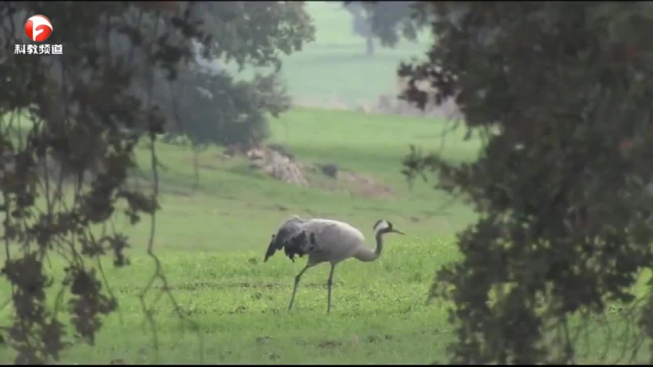 鹤喜食野草的嫩苗,而昆虫是鹤的蛋白质来源