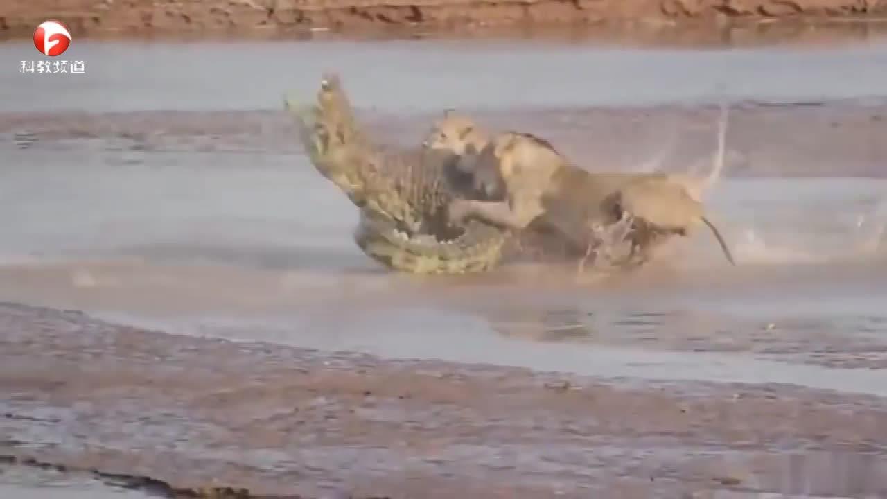 鳄鱼被三头猎豹围住,凶猛展开攻击
