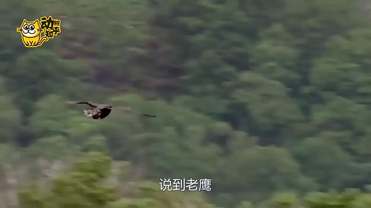 老鹰会游泳?还会干净利落的抓鱼吃!
