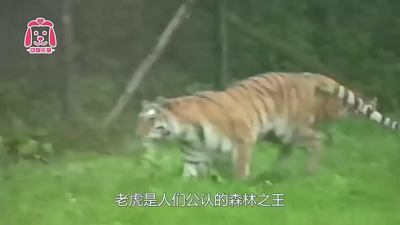 老虎最大的天敌是谁?多少只老虎能打败棕熊?